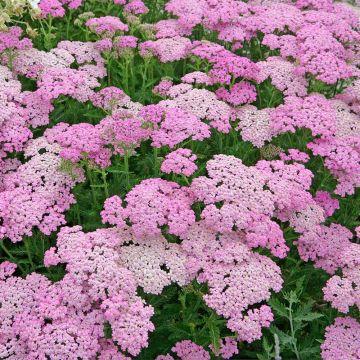 Yarrow Lilac Beauty