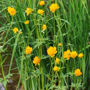 Globeflower 'Golden Queen'