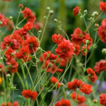 Geum 'Mrs Bradshaw'  - 8 pack