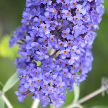 Butterfly Bush 'Blue Horizon'