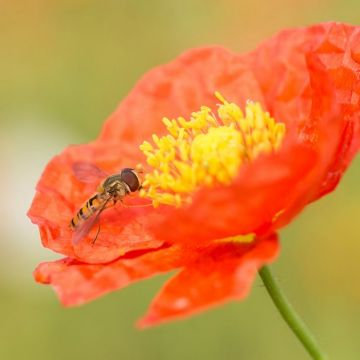 Icelandic Poppy - 8 pack