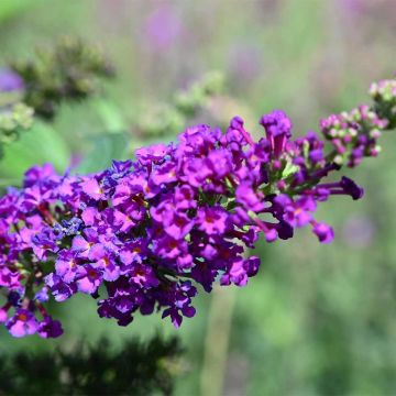 Buddleja dav. Blue Chip