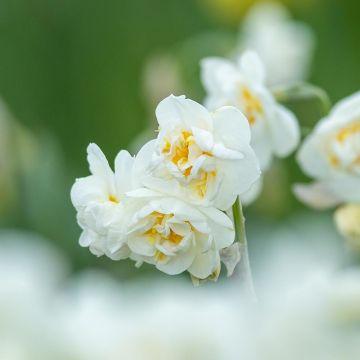 Daffodil 'Bridal Crown' Bulbs -10 Pack