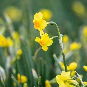 Daffodil 'Martinette' Bulbs - 10 pack