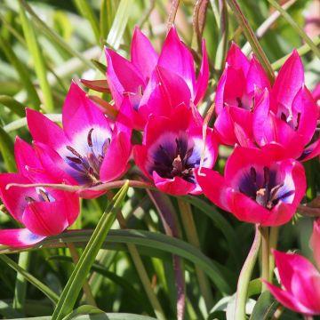 Tulip Little Beauty Bulbs - 10 Pack