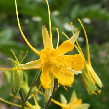 Granny's Bonnet 'Yellow Columbine'