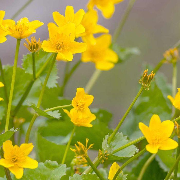 Ternate Waldsteinia - 8 pack