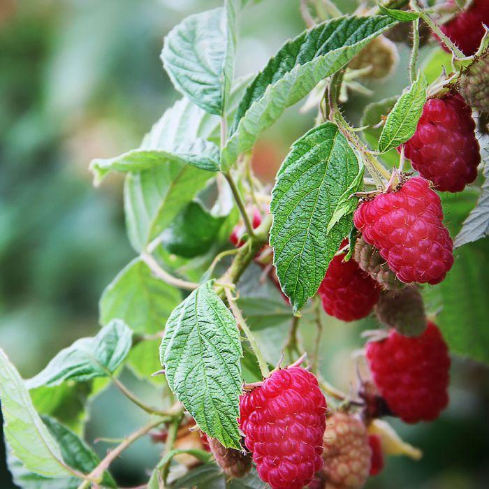 Summer Raspberry