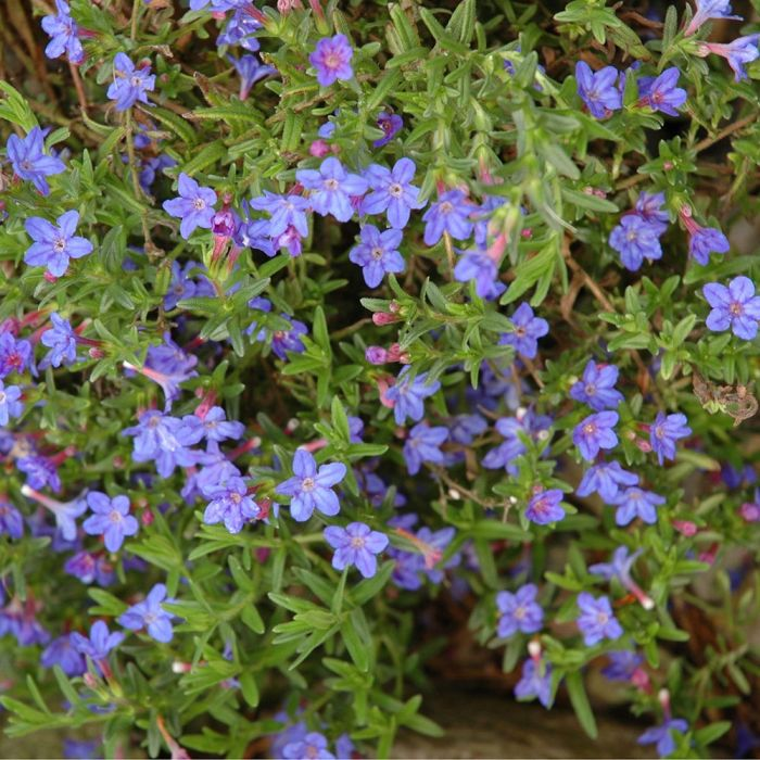 Lithodora 'Heavenly Blue'  - 8 pack