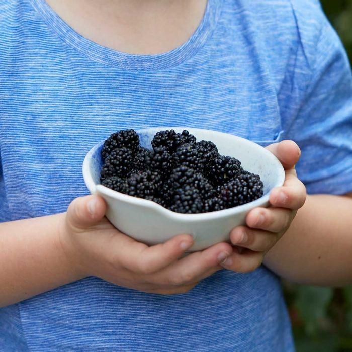 Dwarf Mulberry