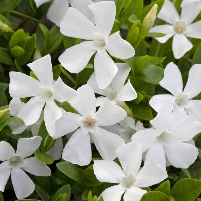White periwinkle - 8 pack
