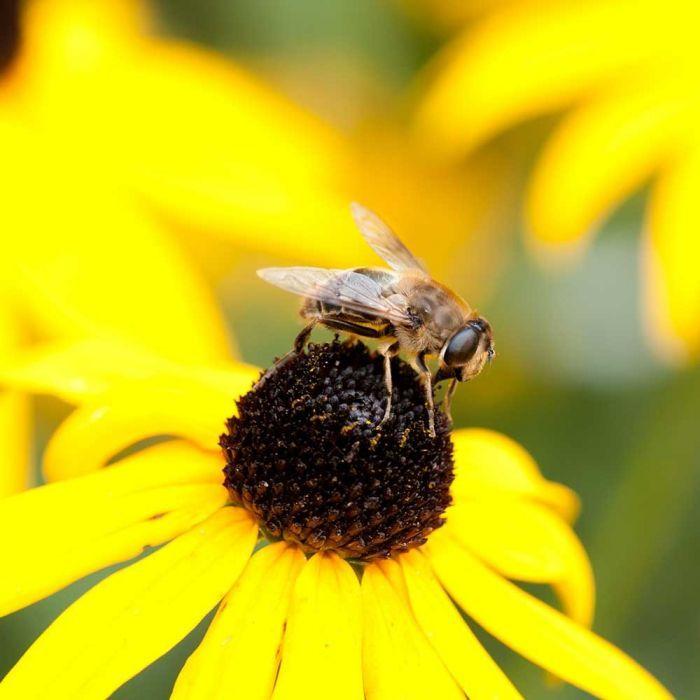 Yellow Coneflower - 8 pack