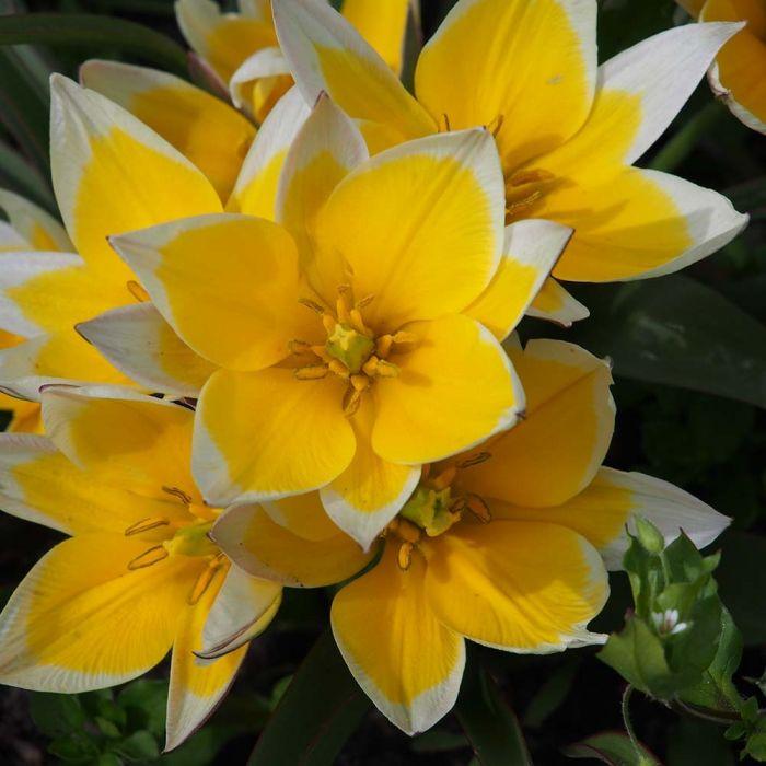 Tulip Tarda Bulbs - pack of 15