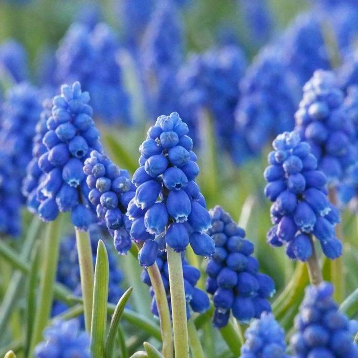 Grape Hyacinth Bulbs - pack of 15