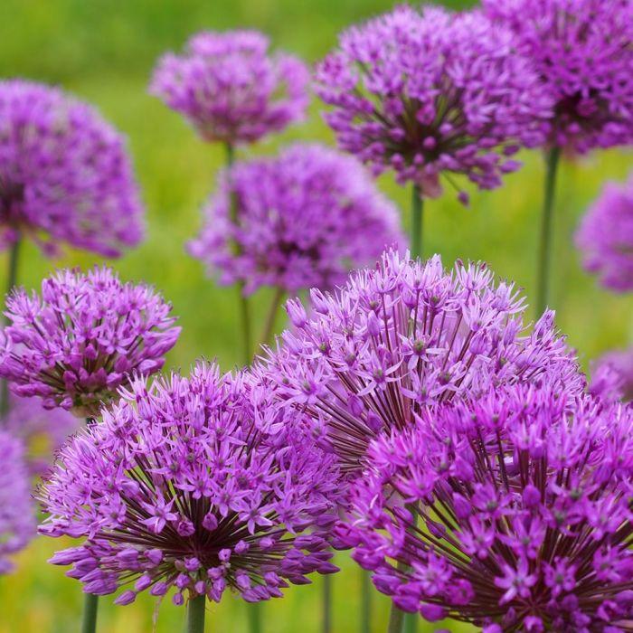 Purple Sensation Bulbs - 5 Pack