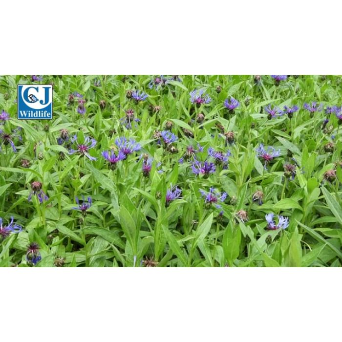 Cornflower - Great Blue Bottle