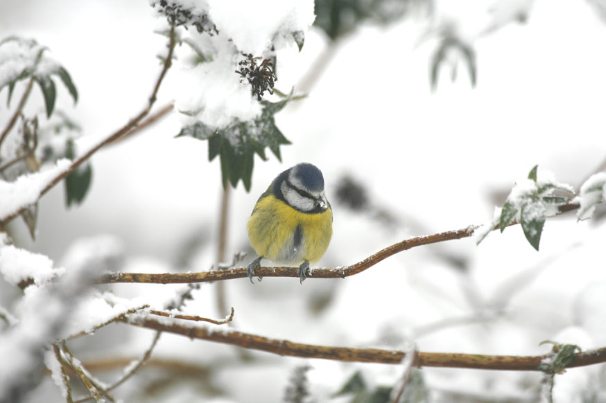 Blue Tit on a snowy branch
