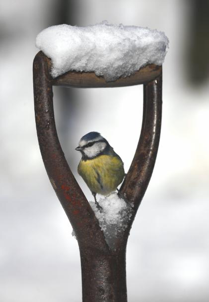 Blue Tit on a snowy spade
