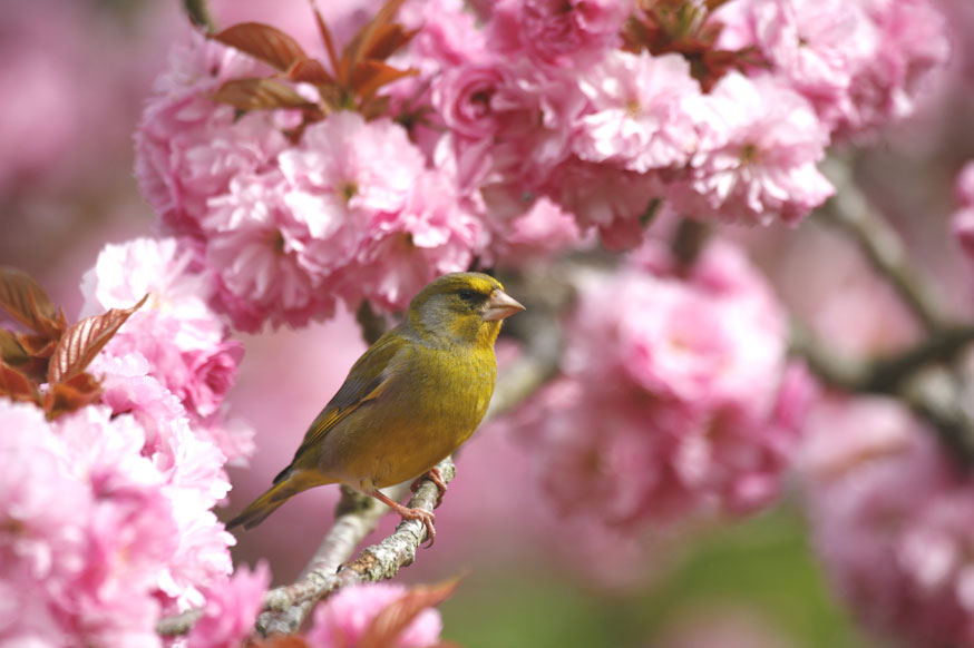 Greenfinch in Cherry Blossom