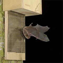 A bat using a bat box