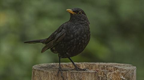Blackbird Webcam