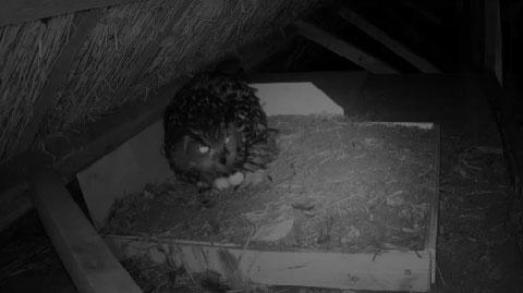Eurasian Eagle-Owl Webcam