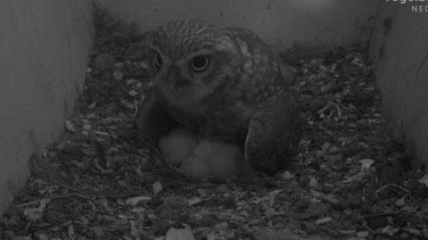 Little Owl Webcam