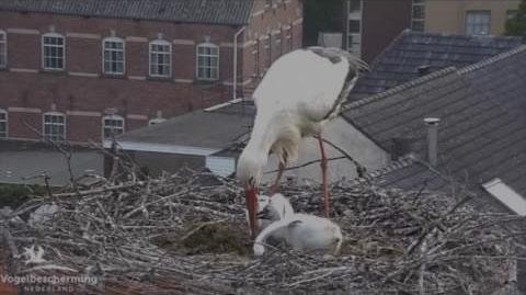 White Stork Webcam
