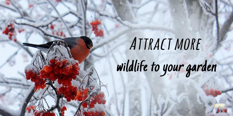 Generic Winter Bullfinch