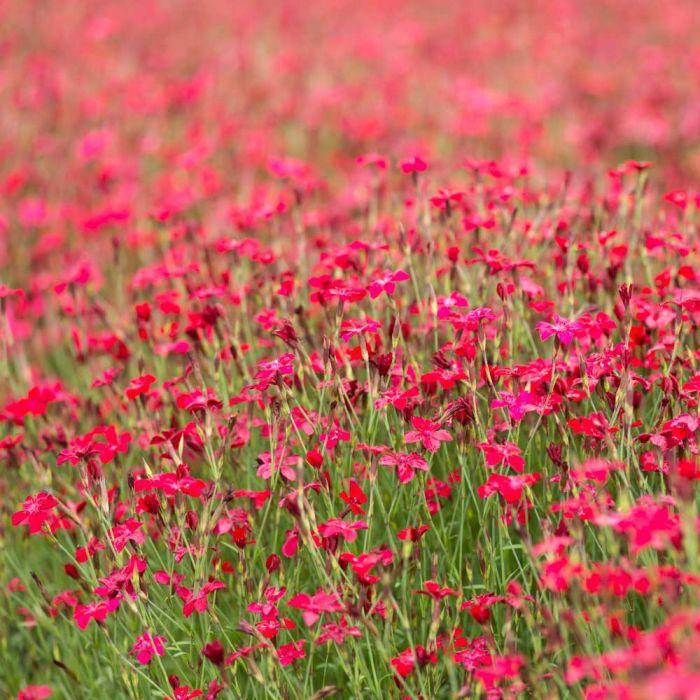 Maiden Pinks
