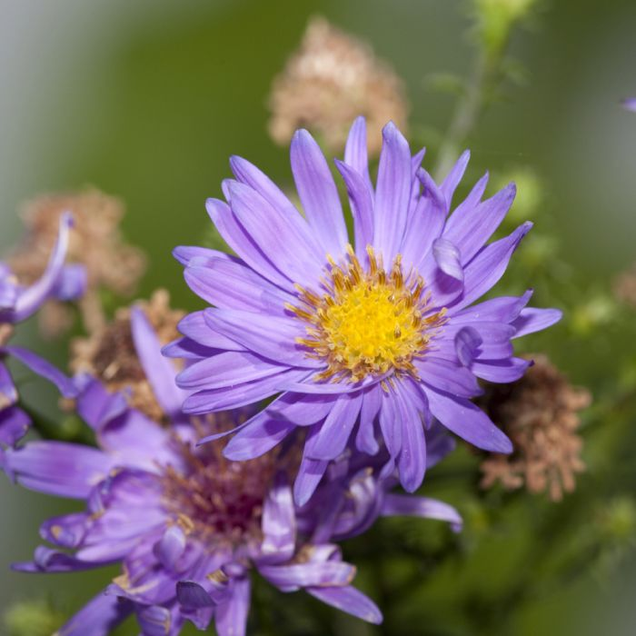 Aster- 'Dumosus lady in blue'