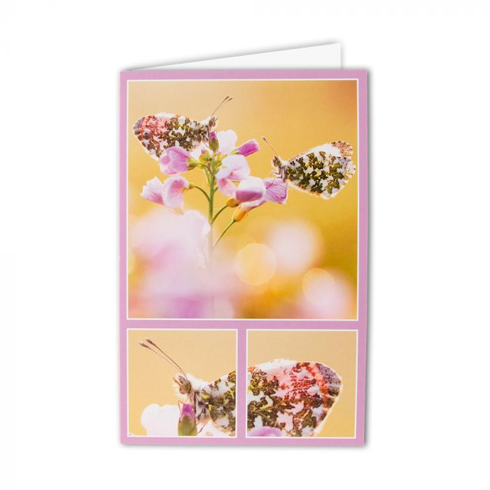 Orange Tip Butterfly Greeting Card