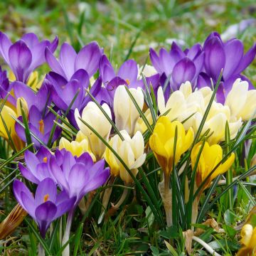 Crocus mix - 60 Bulbs