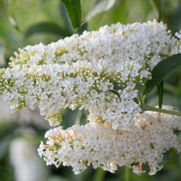 Buddleja Dart's Ornamental White