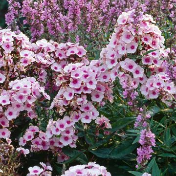 Phlox 'Bright Eyes'