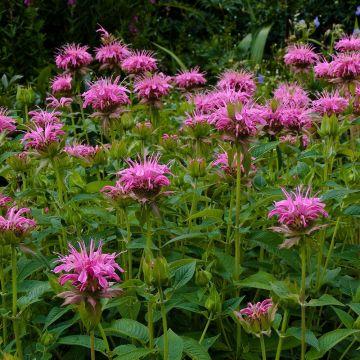 Bergamot 'Croftway Pink'
