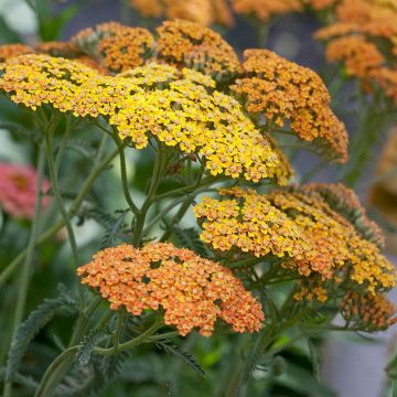 Yarrow Terracotta - 8 pack