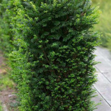 Yew Tree - 8 pack