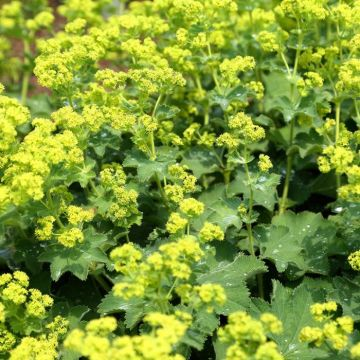 Alchemilla Mollis - Lady's Mantle - 8 pack
