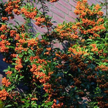 Pyracantha Firethorn