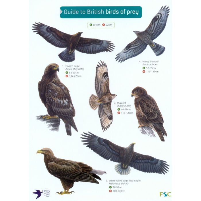 ID Chart - Guide to British Birds of Prey