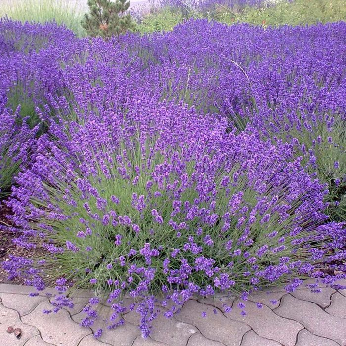 English Lavender 'Munstead'