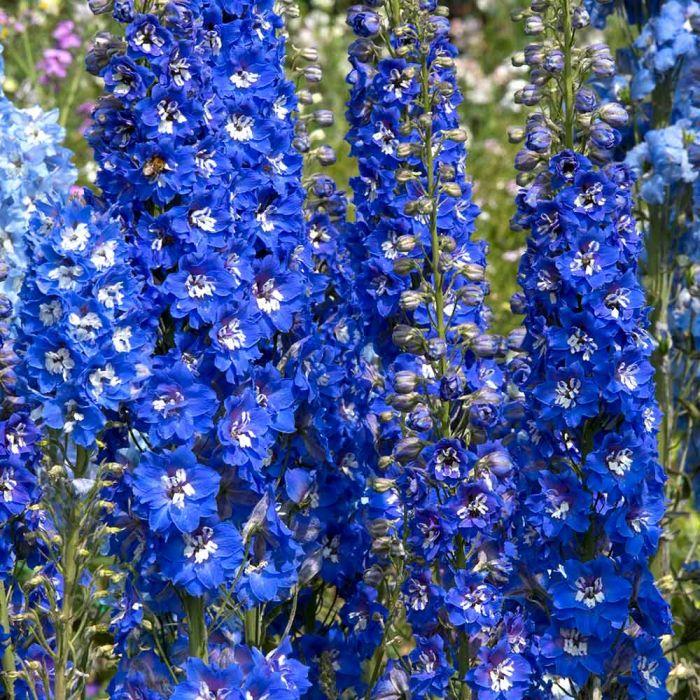 Delphinium 'Blue Bird' - 8 pack