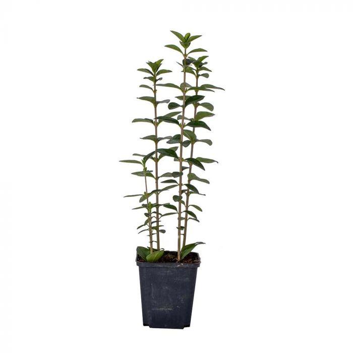 Oval Leaf Privet - 8 pack