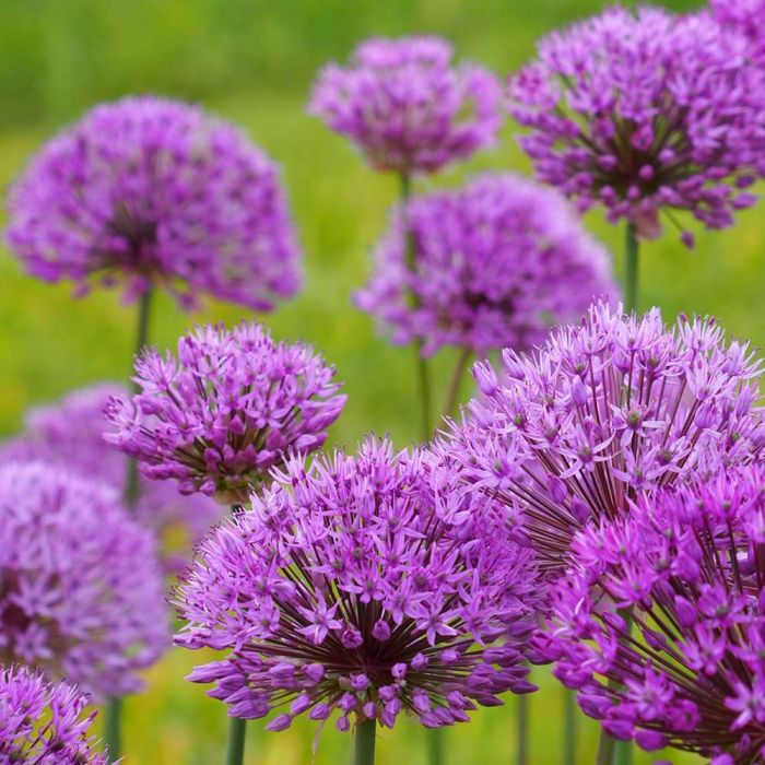 Allium Purple Sensation Bulbs - pack of 15