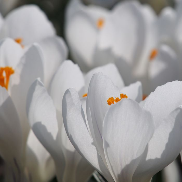 Crocus Jeanne d'Arc Bulbs - pack of 15