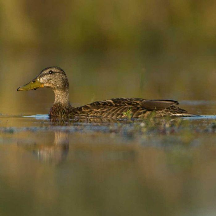CJ Wildlife Duck & Swan Food