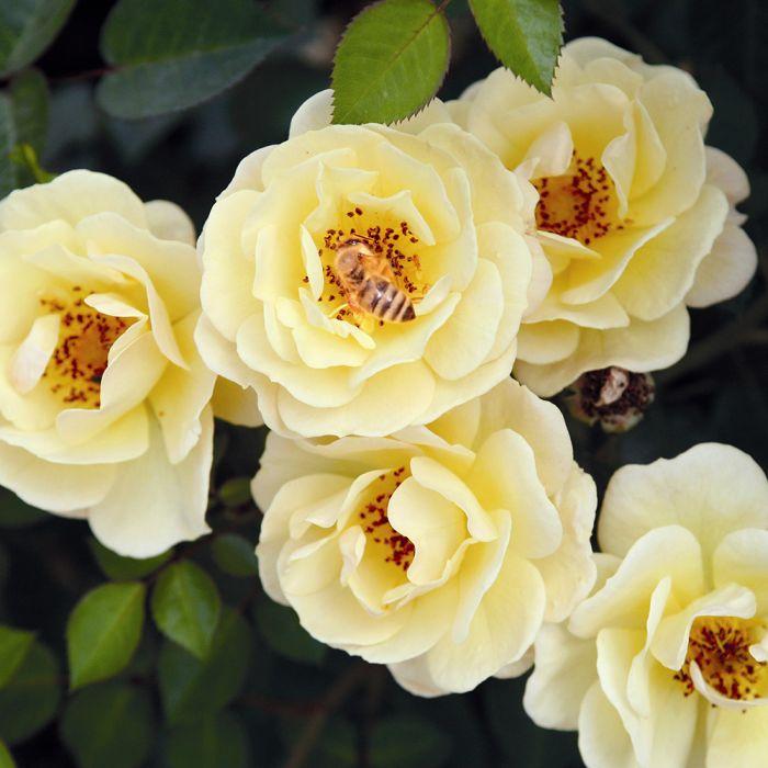 Bee Perfect Rose (Bijenweelde®) Yellow