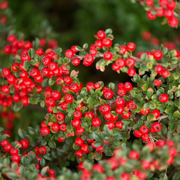 Cotoneaster - 8 pack