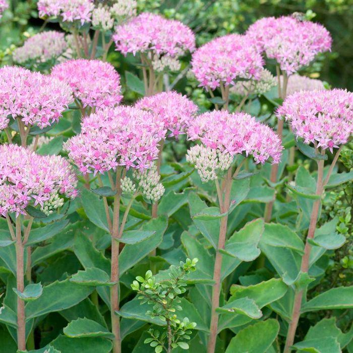 Ice Plant (Sedum spectabile 'Brillant')